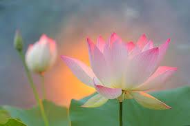 lotus Alix Le Calvez Psychopraticienne Nutritionniste